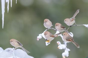 看戏----五只鸦雀看一只是否吃到了什么?