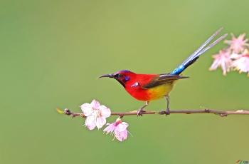 蓝喉太阳鸟------花鸟图 (贺获鸟类精华)