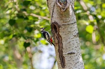大斑啄木鳥