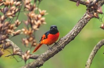 赤紅山椒鳥的春天