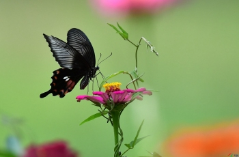 飄舞的蝴蝶