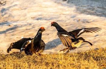黑琴雞拍攝之旅