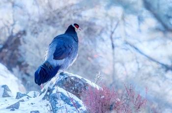 藏马鸡~~~贺图获《首页鸟类精华》
