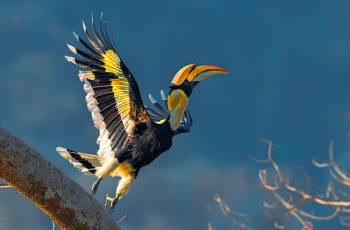 雙角犀鳥(祝賀榮獲首頁鳥類精華)