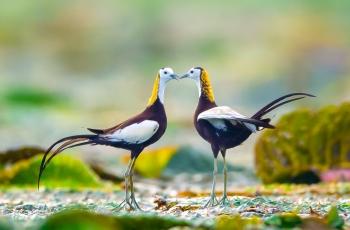 對峙-水雉