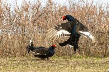 黑琴鸡拍摄之旅