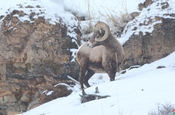雪中大角羊(获首页动物精华)