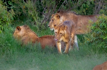 非洲狮-----祝贺荣获野生动物首页精华!