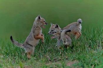 戏——沙狐
