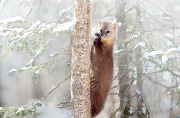 紫貂-洁静---祝贺荣获野生动物首页精华!