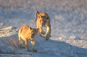非洲狮.俩兄弟----- 祝贺老师佳作荣获首页野生动物精华!