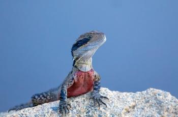 蜥蜴----- 祝贺老师佳作荣获首页野生动物精华!