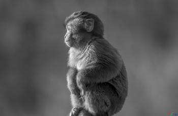小猕猴!------祝贺老师佳作荣获首页黑白影像精华!