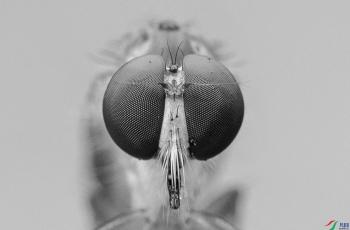 食虫虻的复眼------祝贺老师佳作荣获首页黑白影像精华!