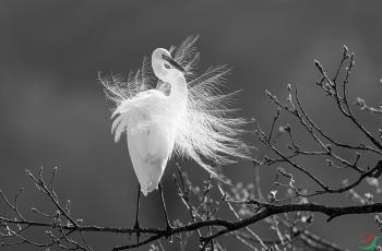 白鹭------祝贺老师佳作荣获首页黑白影像精华!