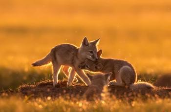 狐狸宝宝玩耍时------  祝贺老师佳作荣获首页动物精华!