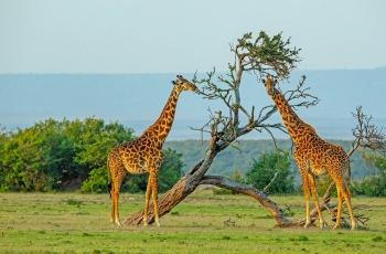 东非草原的长颈鹿-------贺荣获首页精华!
