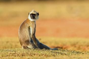 长尾叶猴.周三问好!---- 祝贺荣获野生动物首页精华!