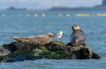 渤海湾明星斑海豹
