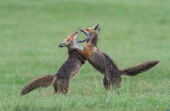 欢快的赤狐~~~贺图获《首页动物精华》