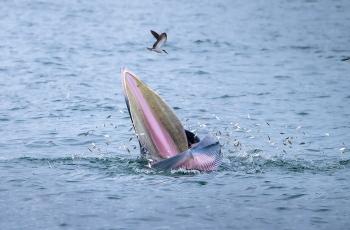 大鹏湾的稀客(布氏鲸)