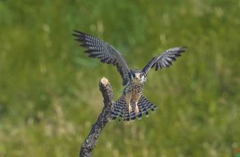 国庆拍鸟:索尼A1试机报告
