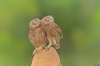 可爱的袖珍小猛禽—《纵纹腹小鸮》