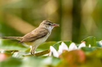 拍育雏期鸟片就是对鸟类的最大伤害