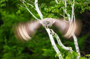 慢门乌林鸮