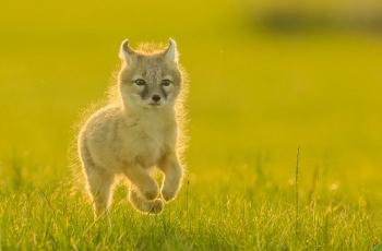 夕阳中的小沙狐