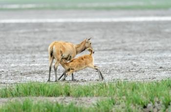 妈妈的乳汁(麋鹿 )  ----  祝贺荣获野生动物首页精华!