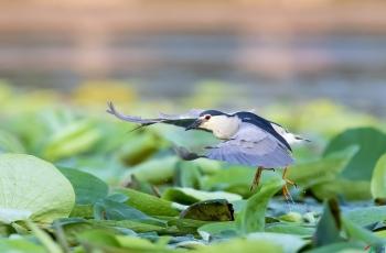 荷塘夜鹭吃大鱼