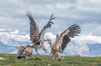 山雨欲来风满楼,两鹫相斗势不休~祝贺荣获每日一图!