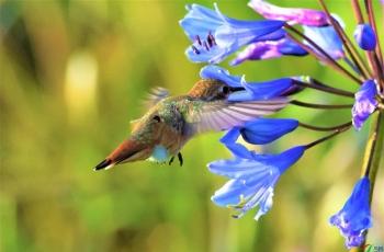 蜂鸟觅食记录片段1