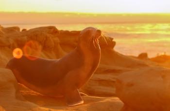 海豹-感受夕阳  ---- 祝贺荣获野生动物首页精华!