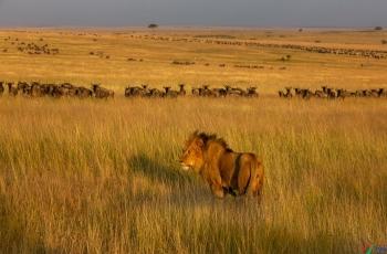 王者风范   ----  祝贺荣获野生动物首页精华!