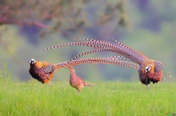 白冠长尾雉