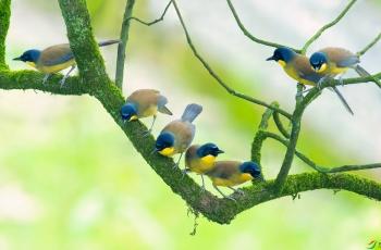 蓝冠噪鹛(黄喉噪鹛)---祝贺老师佳作荣获每日一图