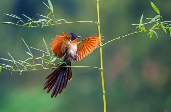 竹林红翅!