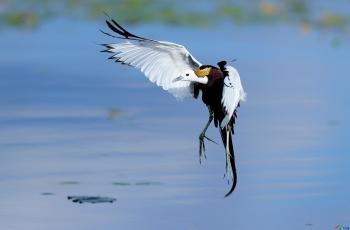 水雉------水中凤凰(贺获鸟类精华)