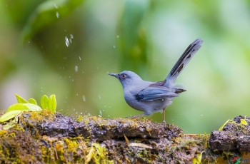 《丽色奇鹛》鸟畅快洗澡