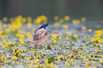 荷塘黄花引来黄尾鹣觅食