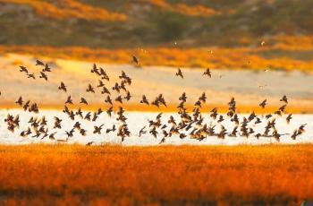 灰椋鸟群飞!