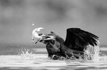 抢鱼   ----   祝贺荣获黑白影像首页精华!