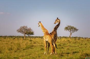 长颈鹿   ----   祝贺荣获野生动物首页精华!