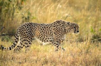 猎豹   ----  祝贺荣获野生动物首页精华!