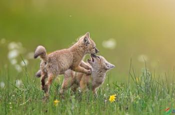 草原狐狸------祝贺老师佳作荣获每日佳作!
