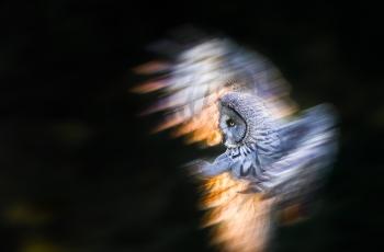 乌林鸮(祝贺老师荣获首页精华)