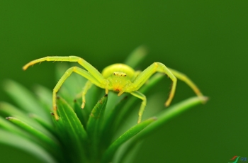 绿蟹蛛【贺获首页精华】