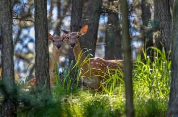 梅花鹿:密林深处母与子